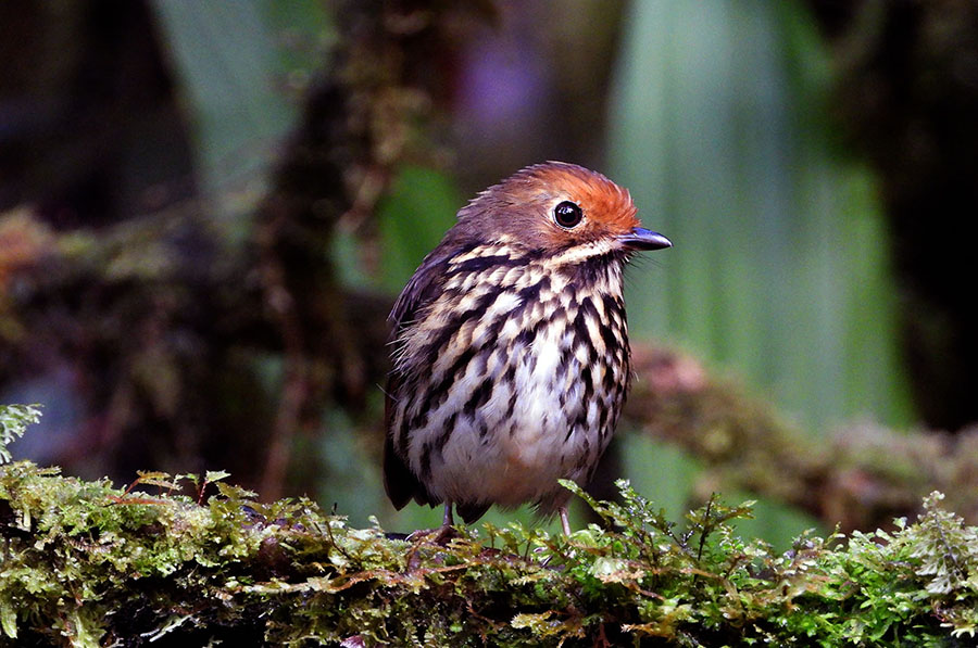 Voices of the forest: Representative birds of Alto Mayo